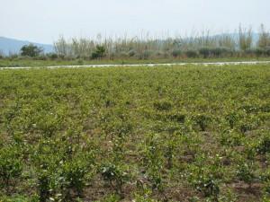 2009年の畑